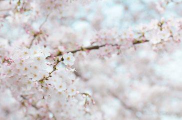 spring-flowers-stroll-cherry-blossom-71859